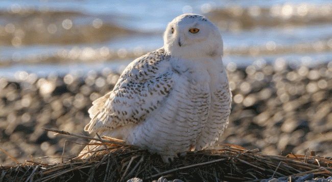 Snowy owl image - what do owls eat