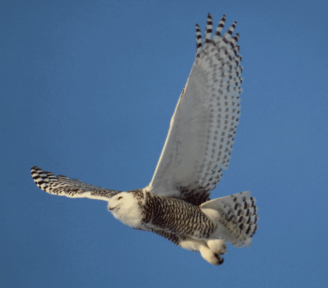 Snowy owl in the air - What do owls eat