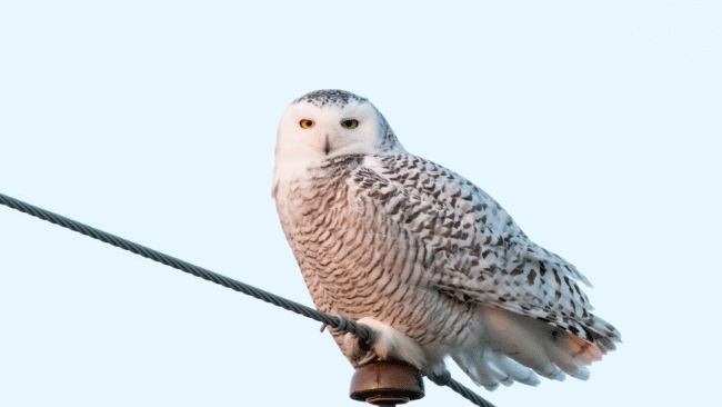 Snowy owl picture - What do owls eat