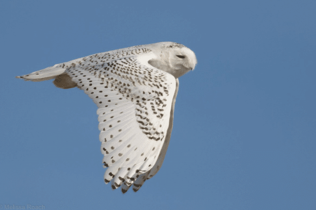 The flying snowy owl picture - What do owls eat