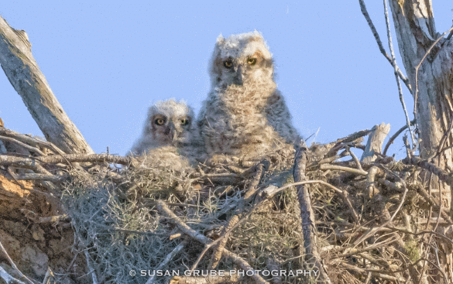 great horned owl babies - what do owls eat