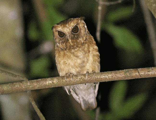 reddish scops owl picture - what do owls eat