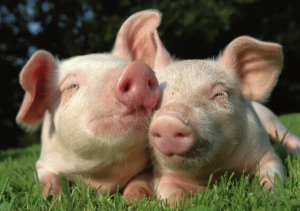 Domestic pigs - what do pigs eat
